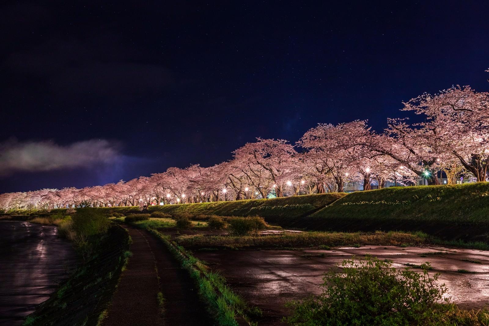 「ライトアップされた角館桧木内川の桜並木」の写真
