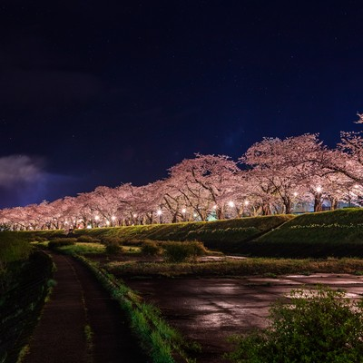 ライトアップされた角館桧木内川の桜並木の写真