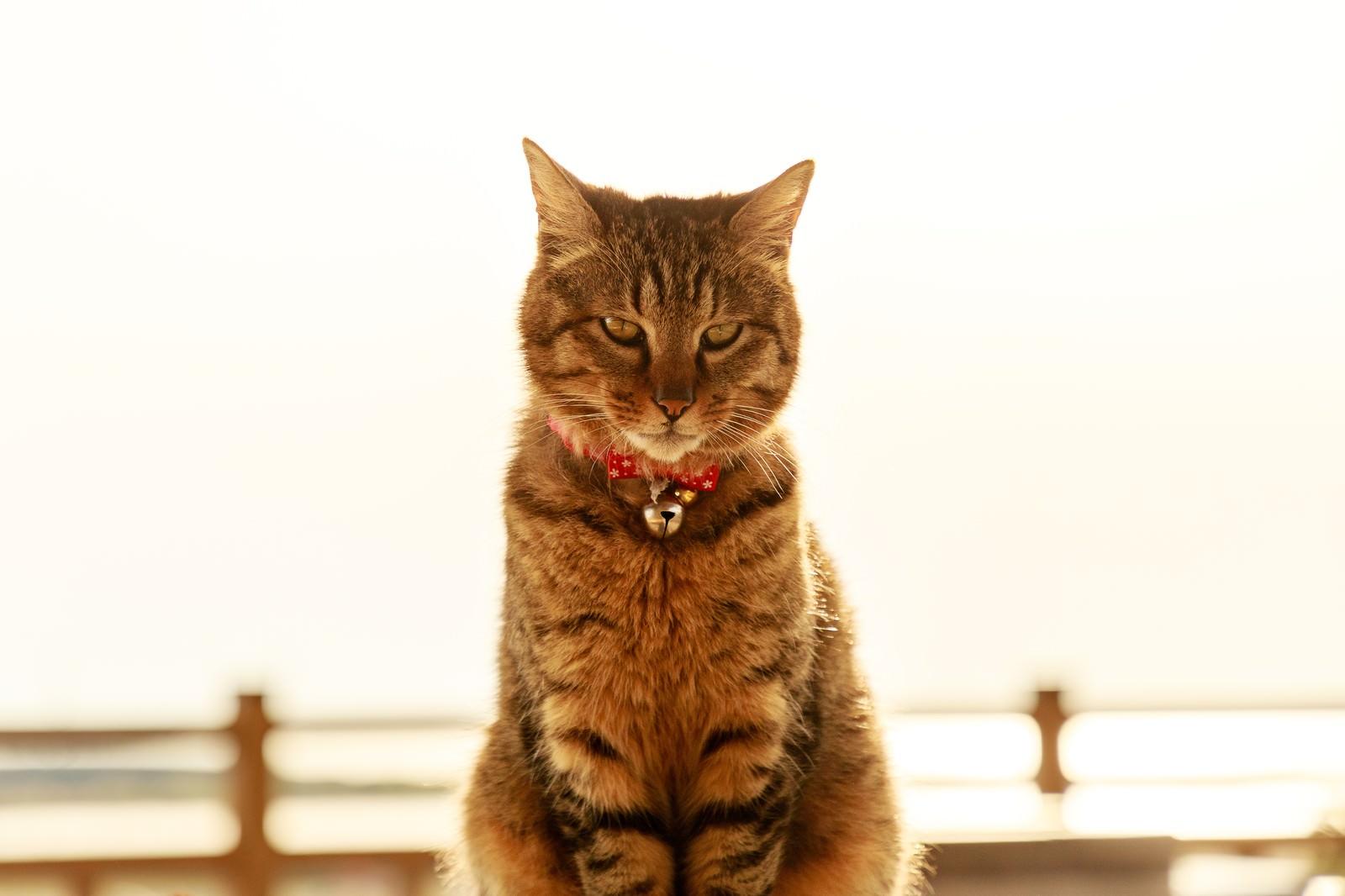 「金色の飼い猫」の写真
