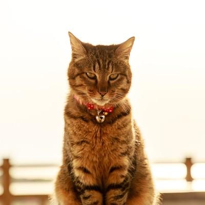 金色の飼い猫の写真