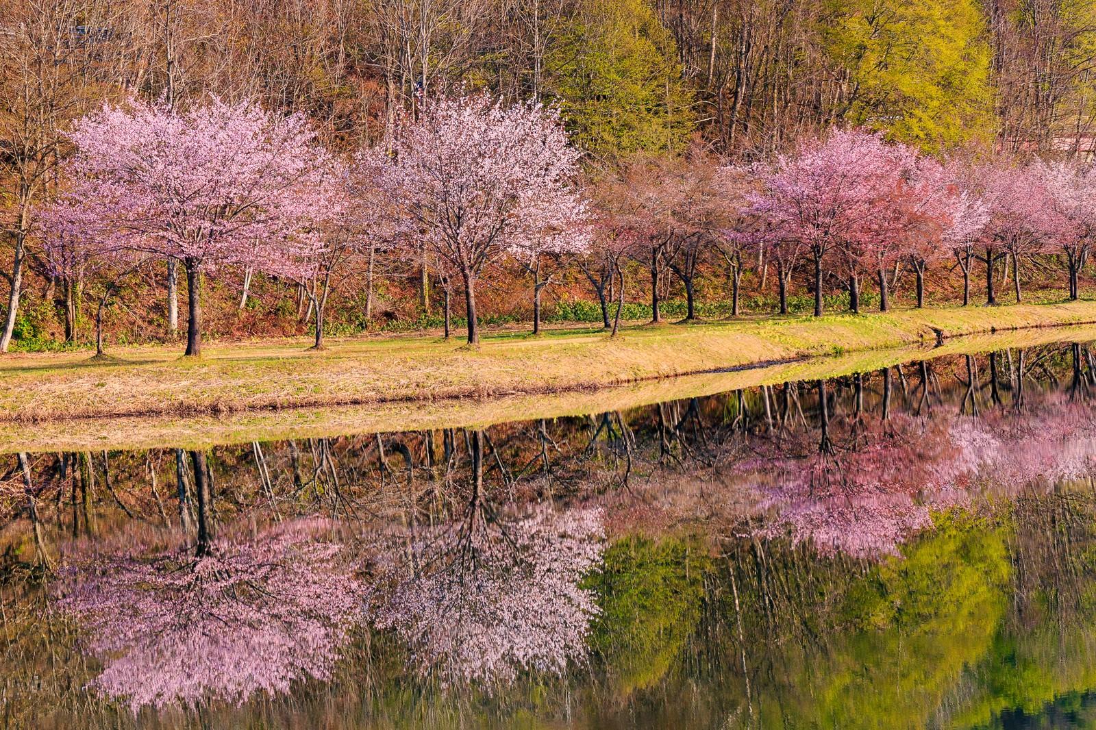 「桜並木の鏡張り」の写真