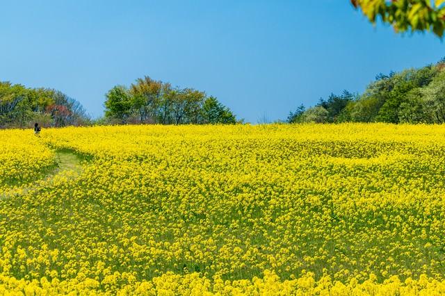 菜の花で埋め尽くされた絨毯の写真