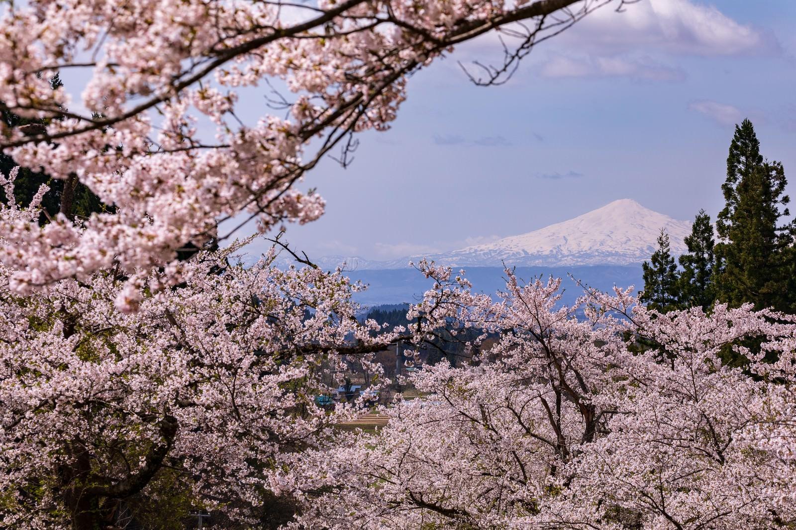 「満開の桜から見る鳥海山」の写真