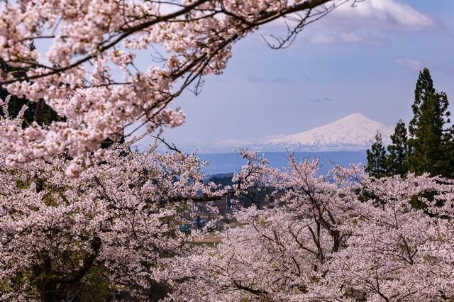 満開の桜から見る鳥海山の写真