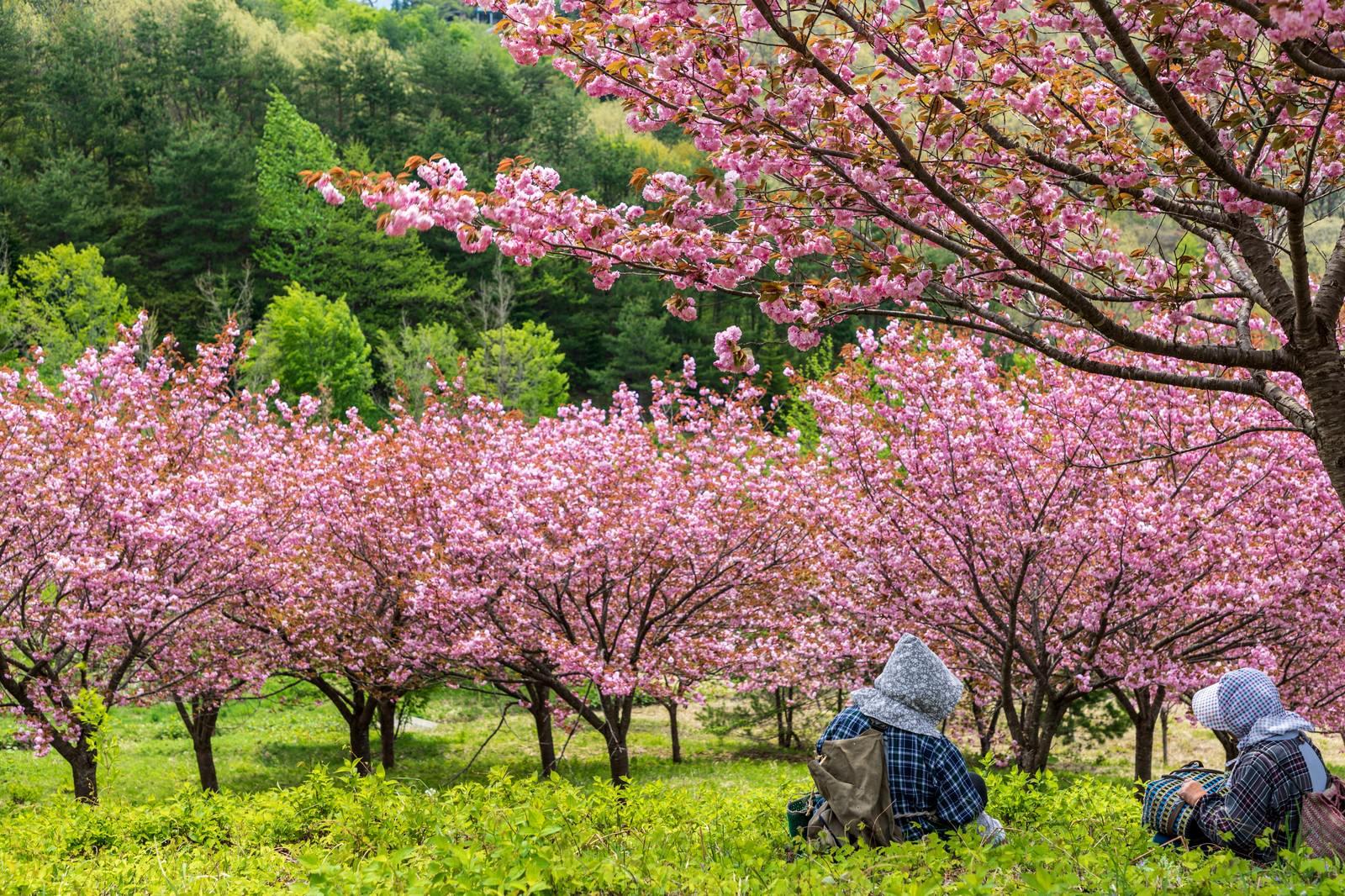 「桃源郷の八重桜を眺めて休憩する婆ちゃんたち」の写真