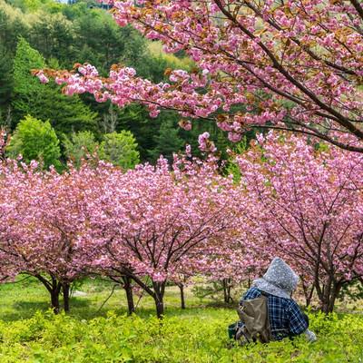 桃源郷の八重桜を眺めて休憩する婆ちゃんたちの写真