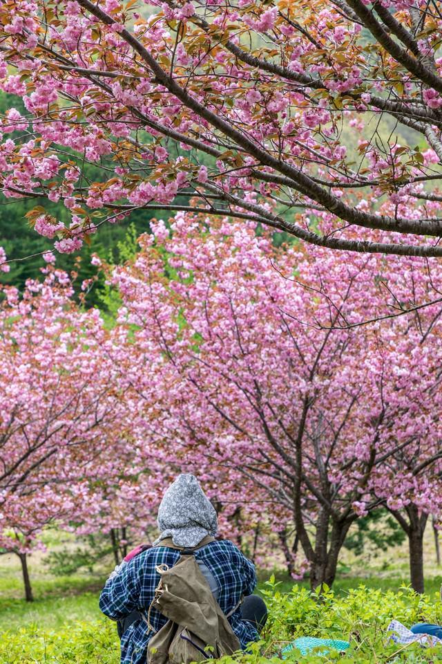 八重桜の木の下でひと休みする婆ちゃんの後ろ姿の写真