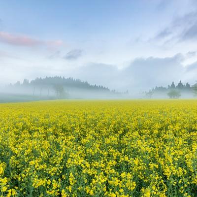 静寂な朝霧立ち込める菜の花畑の写真