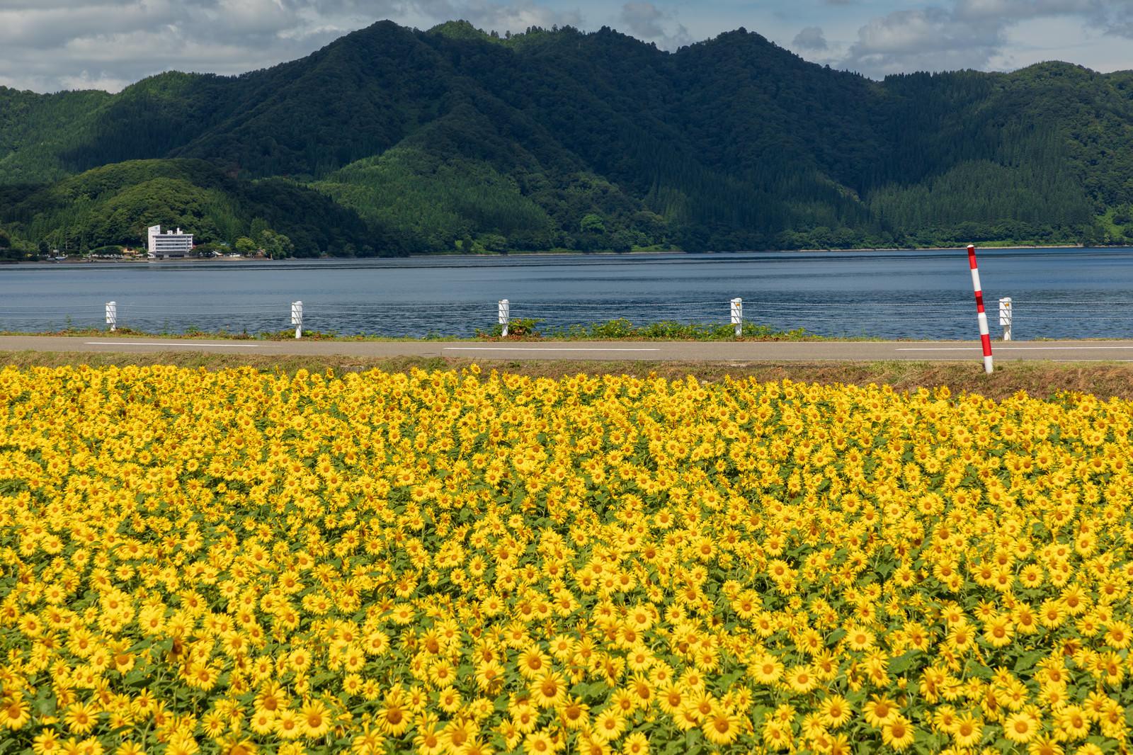 「田沢湖とひまわり畑」の写真