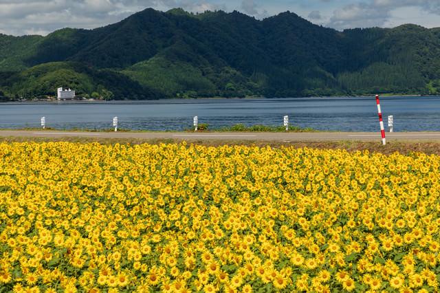 田沢湖とひまわり畑の写真