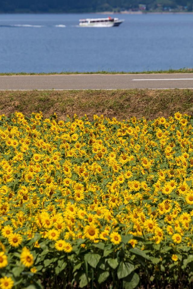 ひまわり咲く田沢湖畔の写真