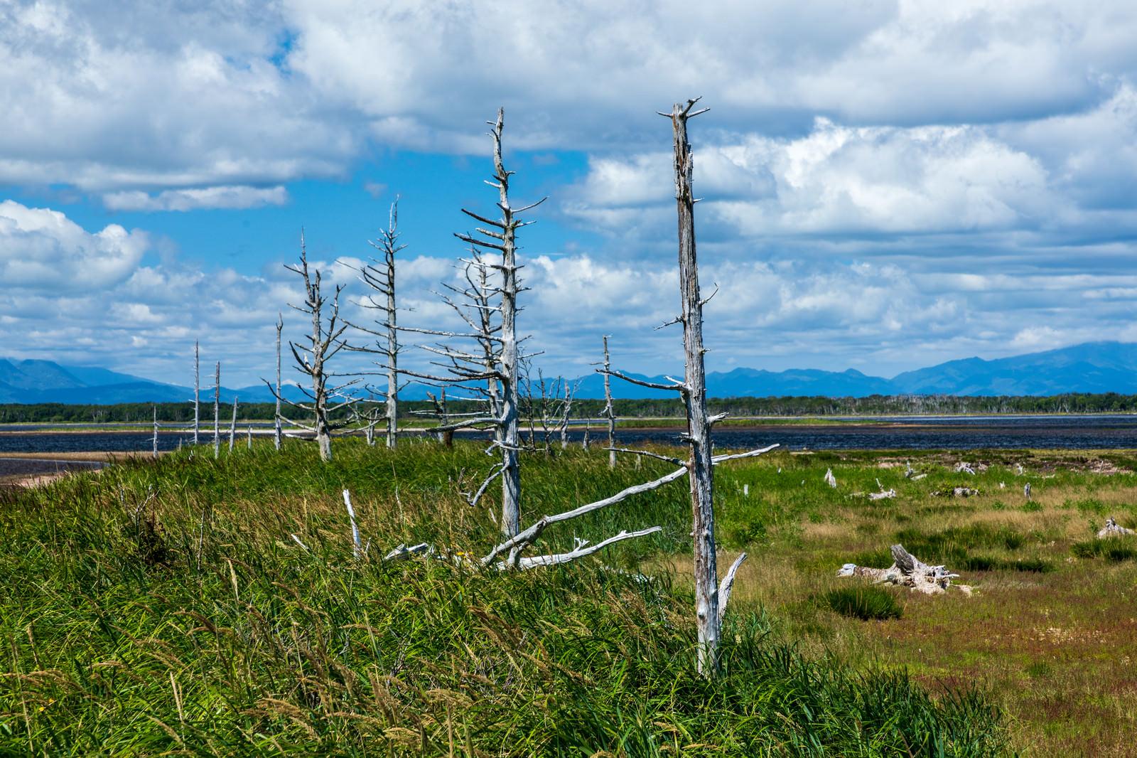 「野付半島のトドワラ」の写真