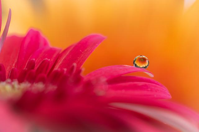 水滴に逆さに映る黄色の花の写真