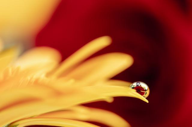 水滴に閉じ込めた赤い薔薇の写真