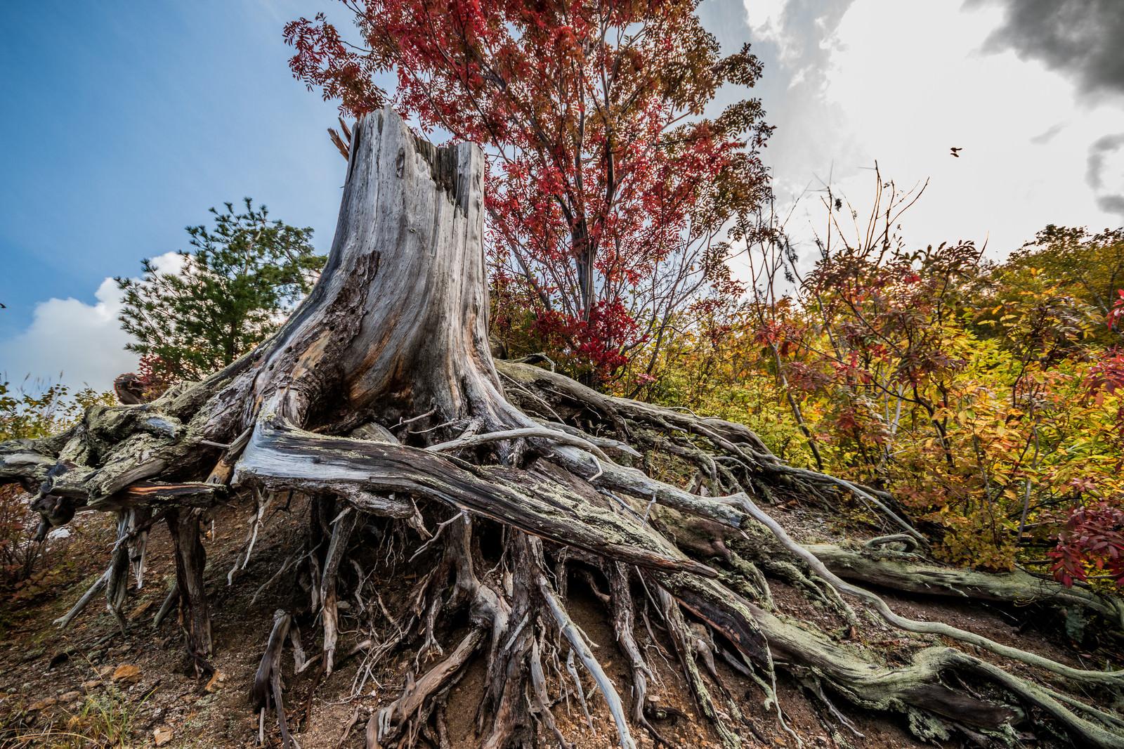 「黄葉した木々と枯木(川原毛地獄) | 写真の無料素材・フリー素材 - ぱくたそ」の写真