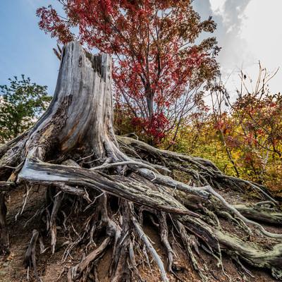 黄葉した木々と枯木(川原毛地獄)の写真