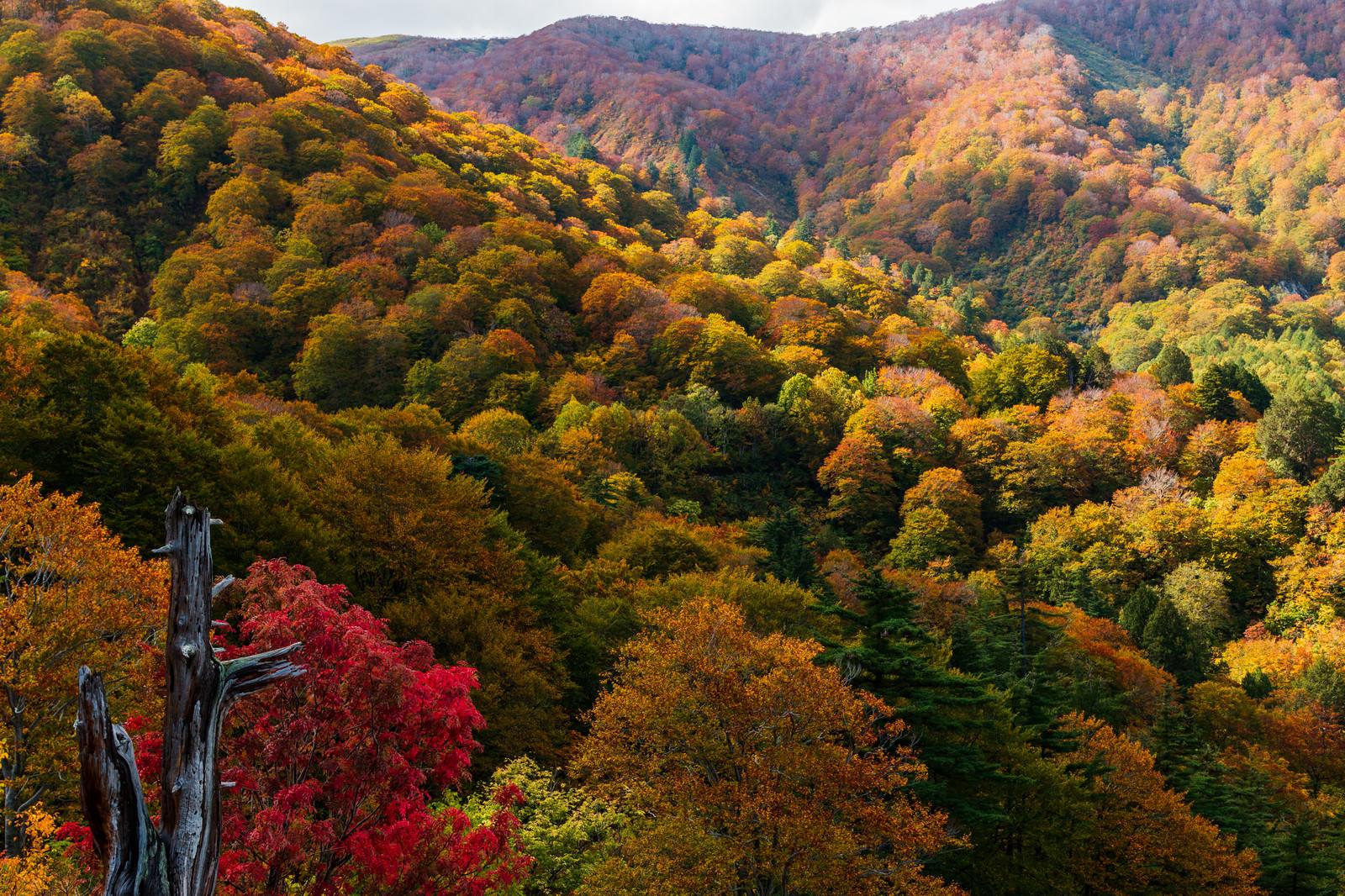 「河原毛地獄から望む黄葉した森」の写真