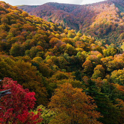 河原毛地獄から望む黄葉した森の写真