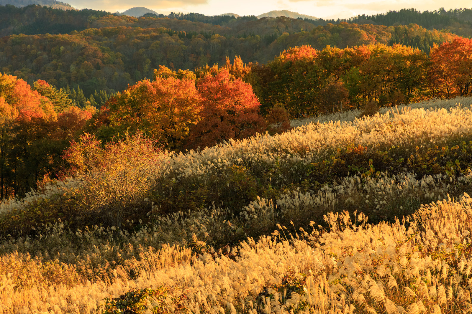 「夕日に照らされた紅葉した木々とススキ」の写真