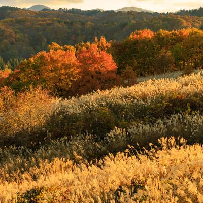 夕日に照らされた紅葉した木々とススキの写真