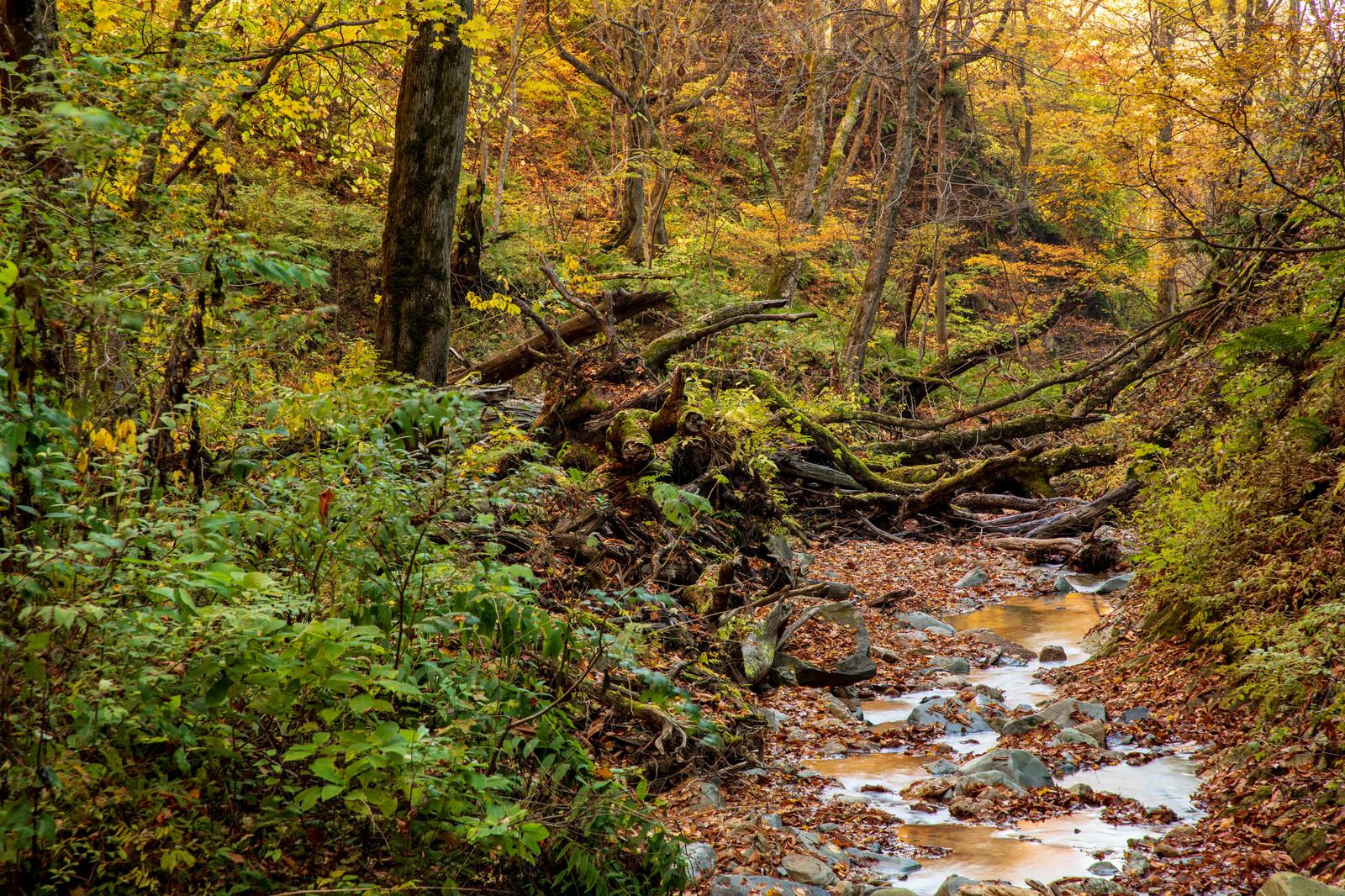 「紅葉した木々と朽ちた木を縫うように流れる渓流」の写真