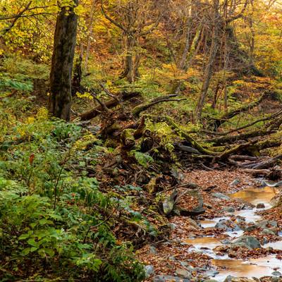 紅葉した木々と朽ちた木を縫うように流れる渓流の写真