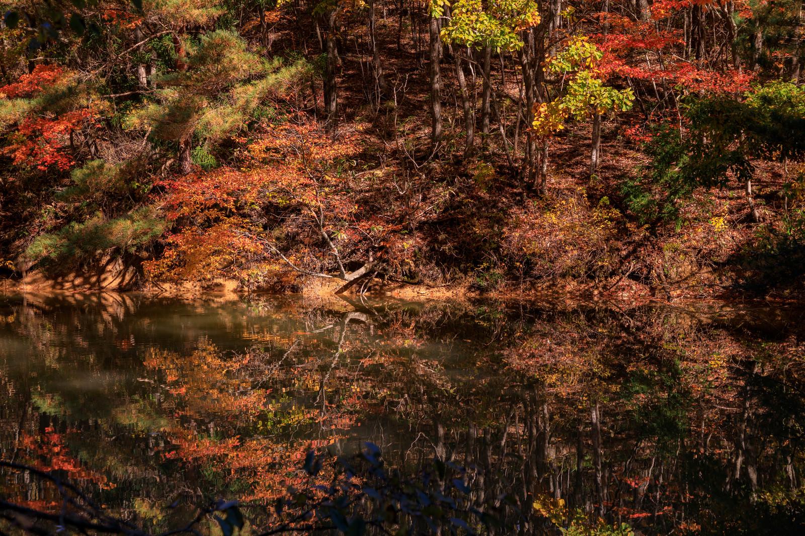 「沼の水面に反射する紅葉する木々」の写真