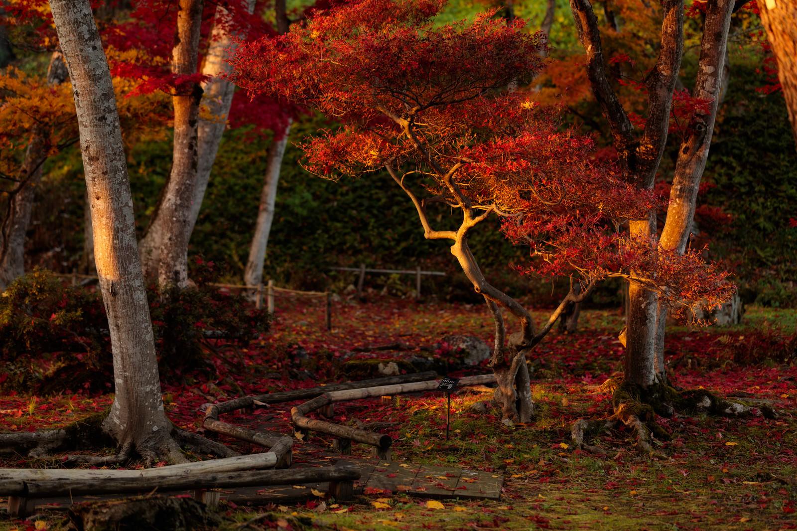 「夕日に照らされた紅葉」の写真