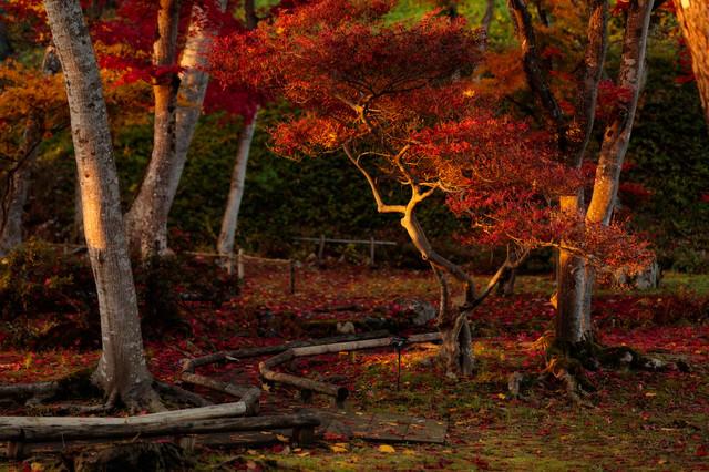 夕日に照らされた紅葉の写真