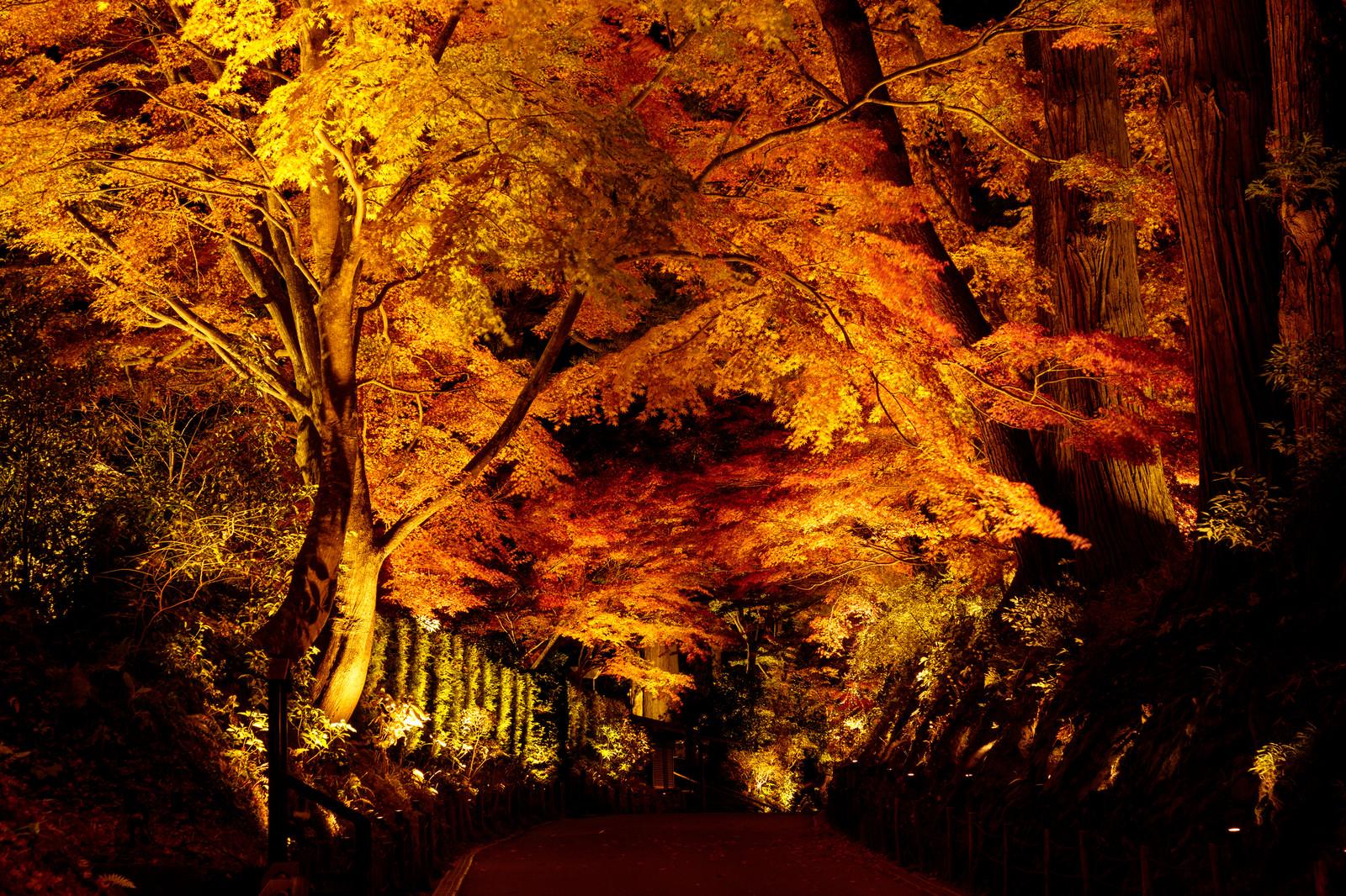 「ライトアップされた参道の紅葉(中尊寺)」の写真