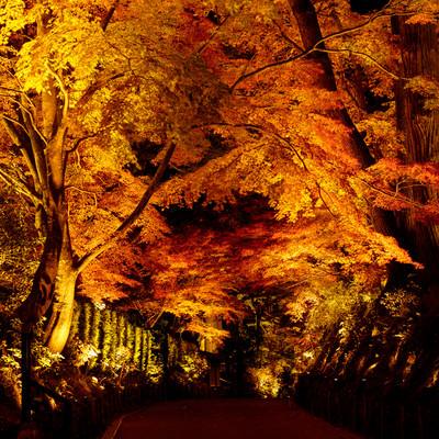 ライトアップされた参道の紅葉(中尊寺)の写真