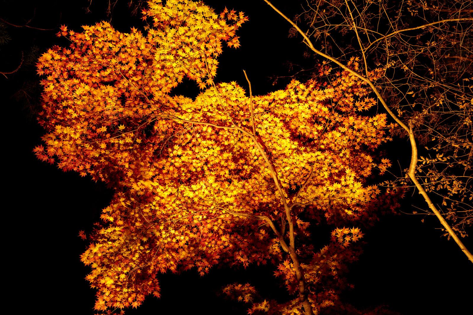 「ライトアップされた紅葉」の写真