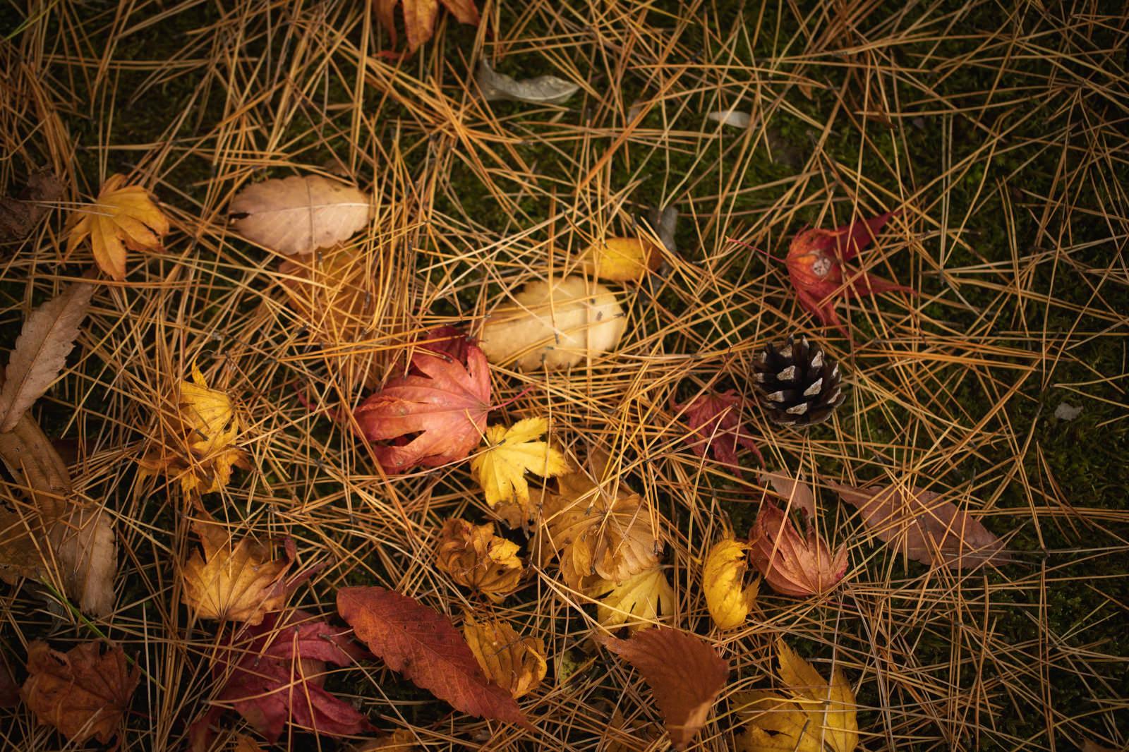 「針葉樹の種類の落ち葉」の写真