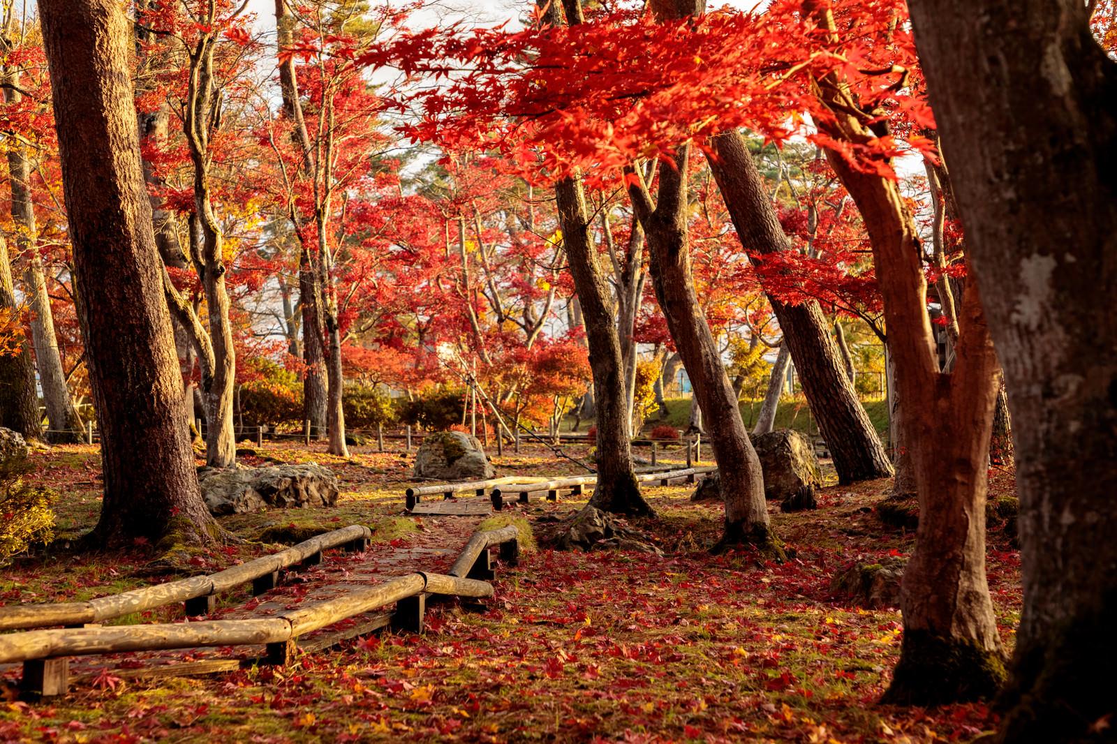 「紅葉した木々と木道に散るもみじ」の写真