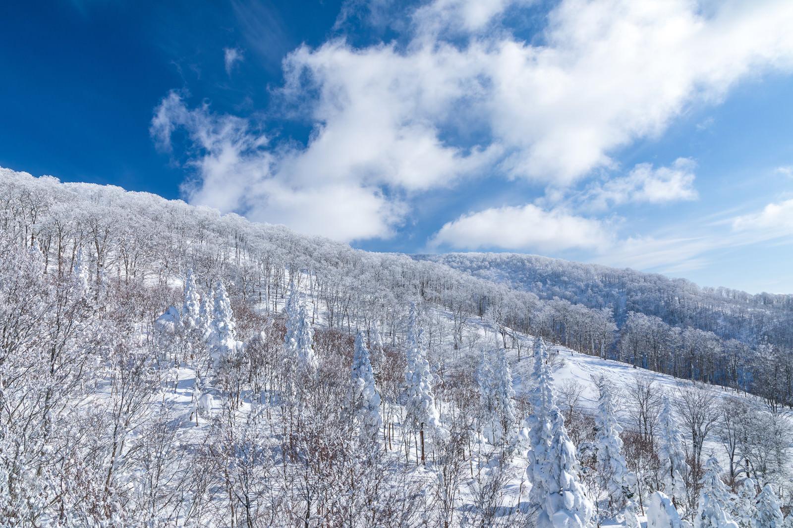 「どこまでも続く雪景色(針葉樹)」の写真