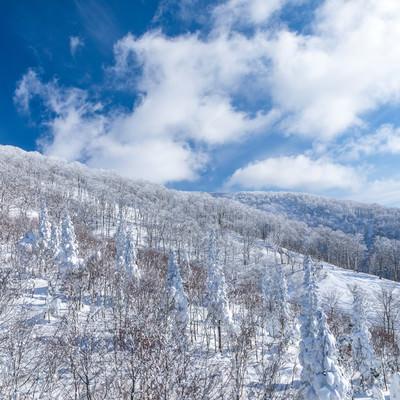 どこまでも続く雪景色(針葉樹)の写真