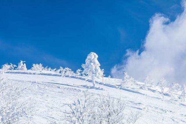 晴れ渡る雪山と一本樹氷(森吉山)の写真