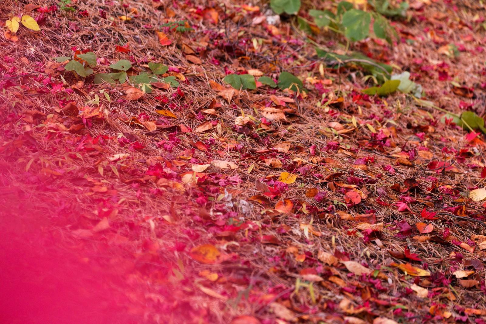 「赤い落ち葉赤い落ち葉」のフリー写真素材を拡大