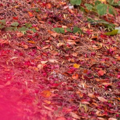 赤い落ち葉の写真