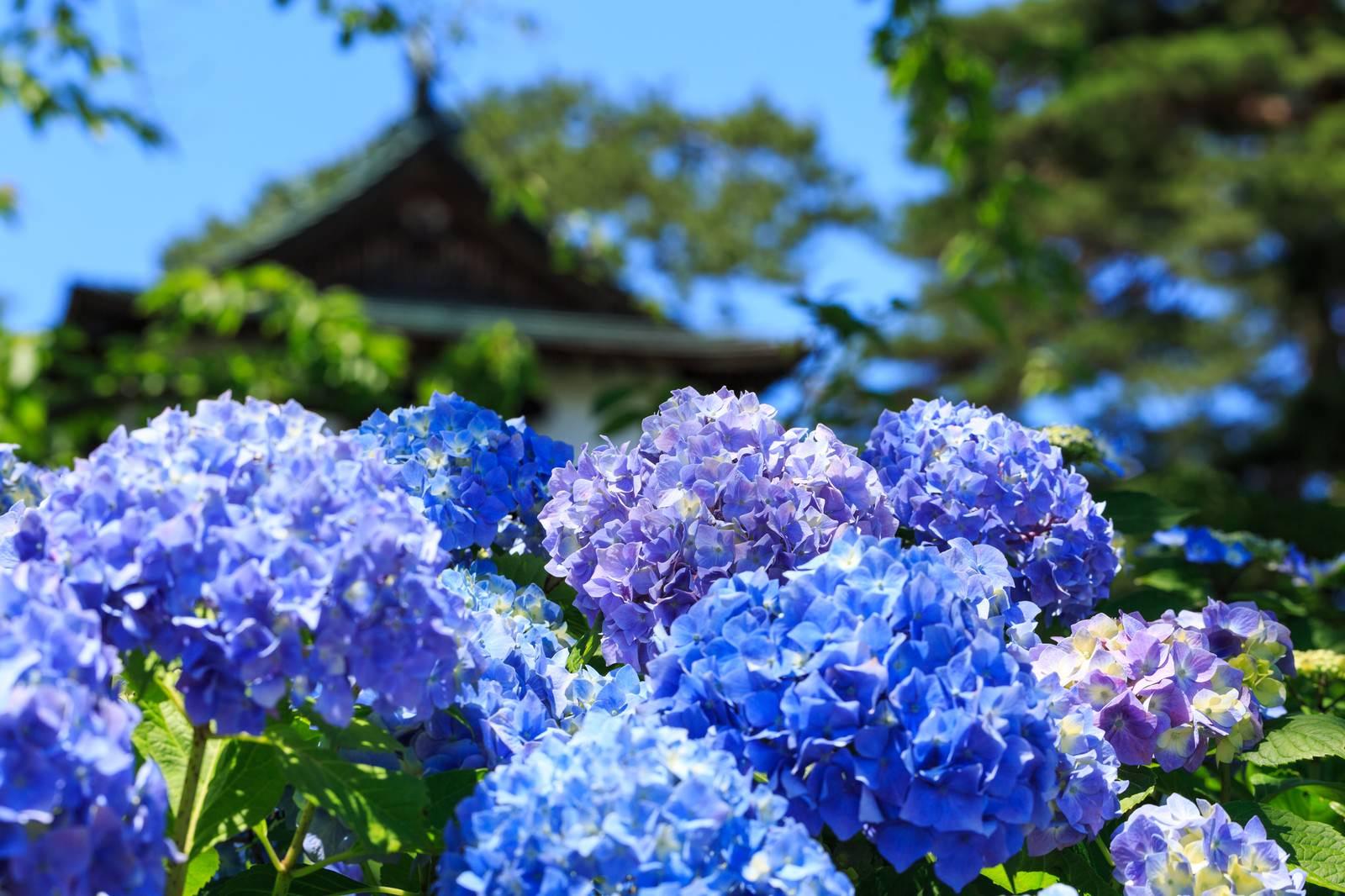 「晴れた日の紫陽花の花」の写真