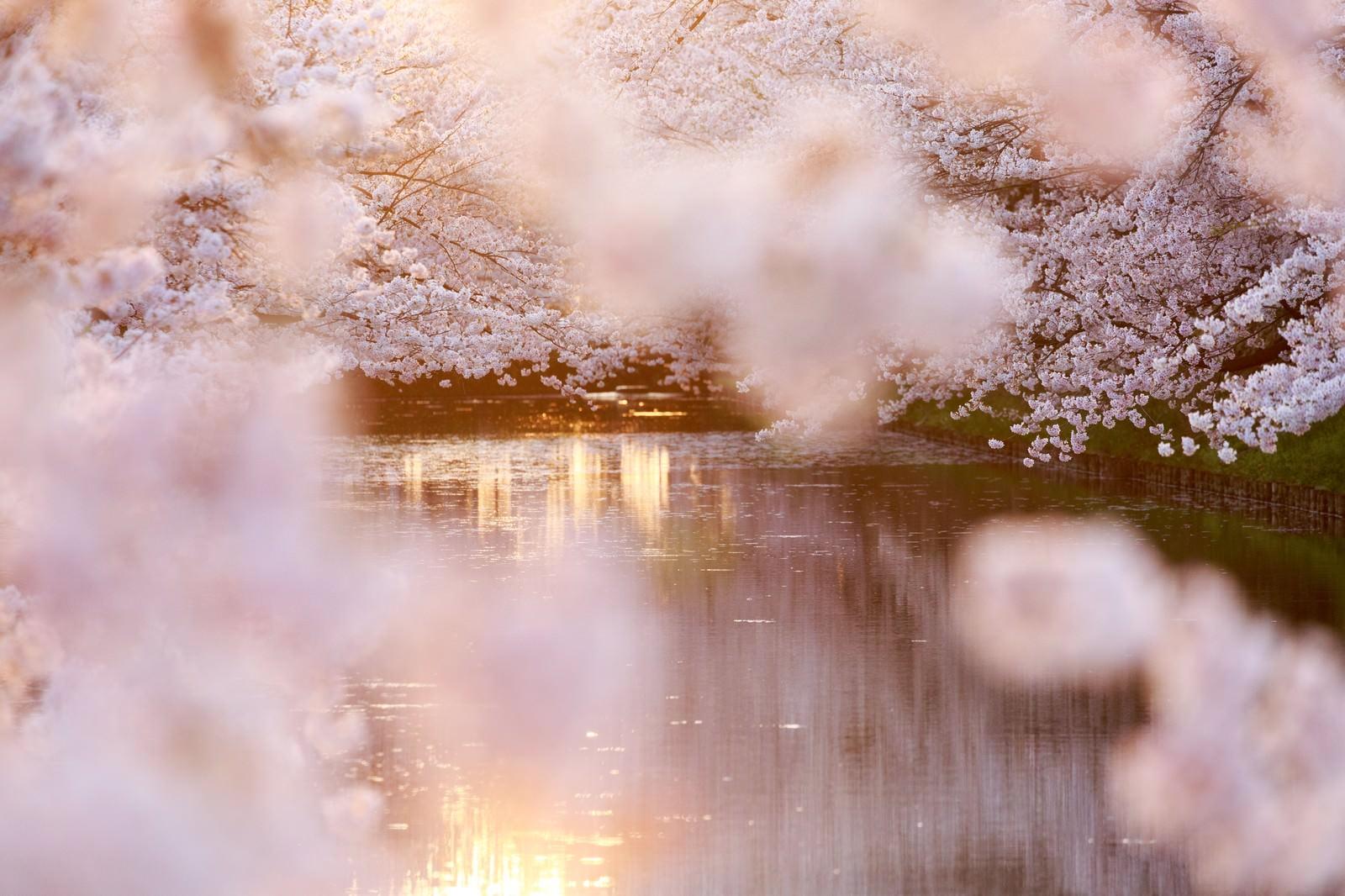 「満開の桜と池」の写真
