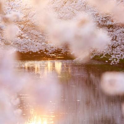 満開の桜と池の写真