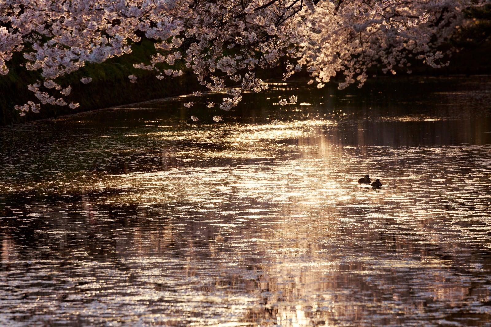 「弘前公園内の堀」の写真
