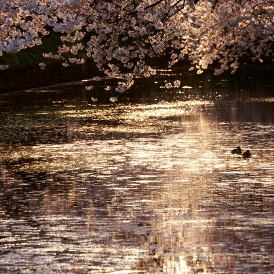 「弘前公園内の堀」の写真素材