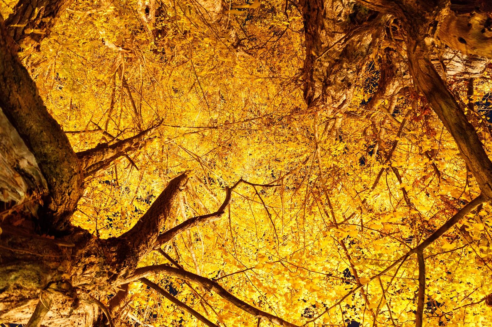 生命的奇迹银杏树在日本广岛原子弹炸后也能存活