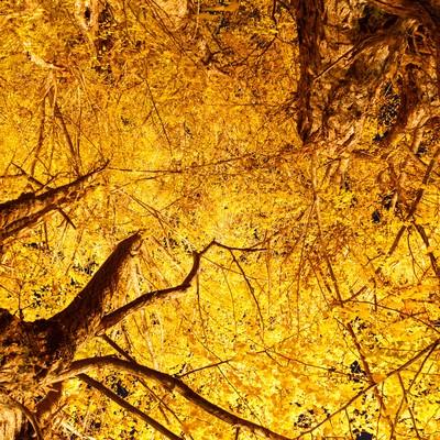 紅葉した銀杏の木の写真