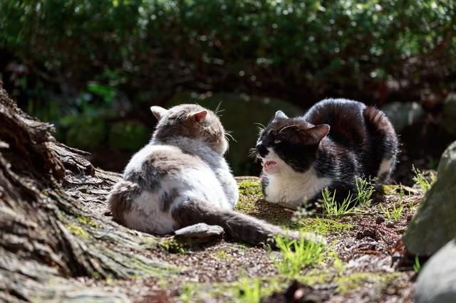 縄張り争いが熾烈な野良猫同士の写真