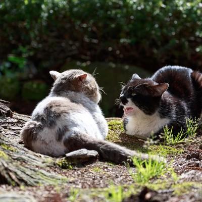 「縄張り争いが熾烈な野良猫同士」の写真素材