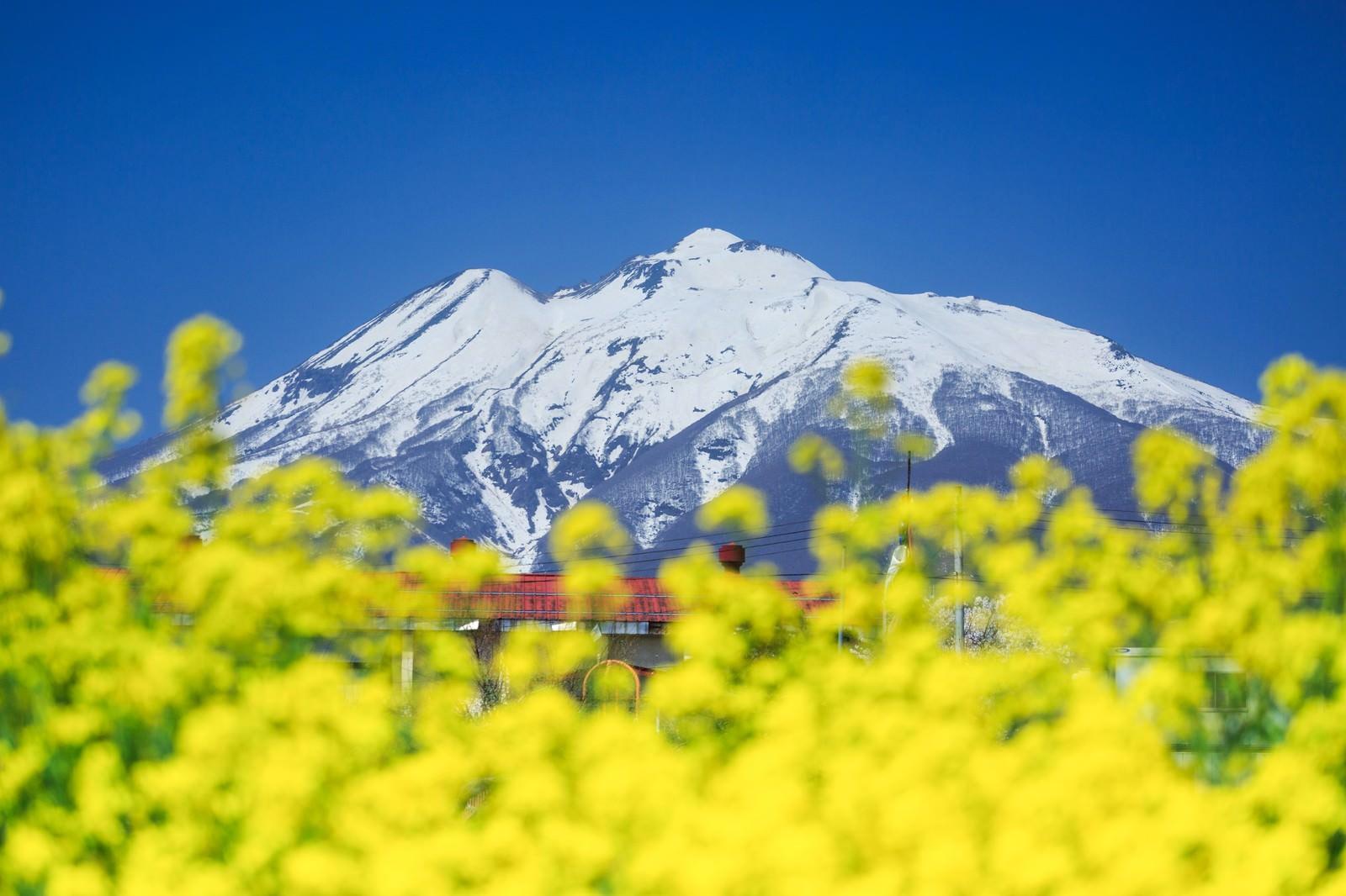 「菜の花と岩木山」の写真