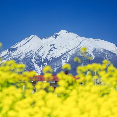 菜の花と岩木山の写真